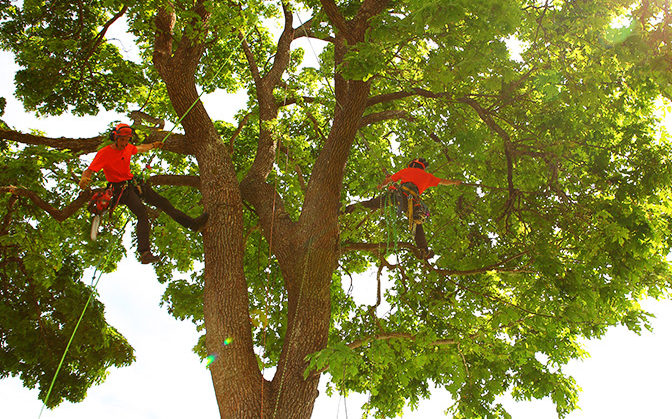 Two arborists spurless climbing